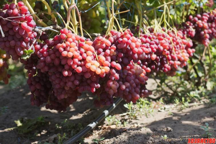 Сорт винограда Велес.jpg
