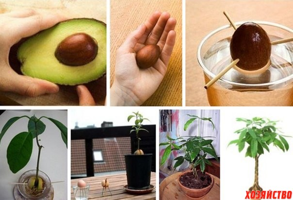 авокадо.jpg