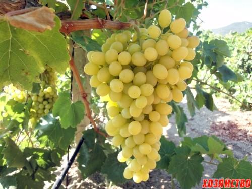 самые вкусные сорта винограда для средней полосы