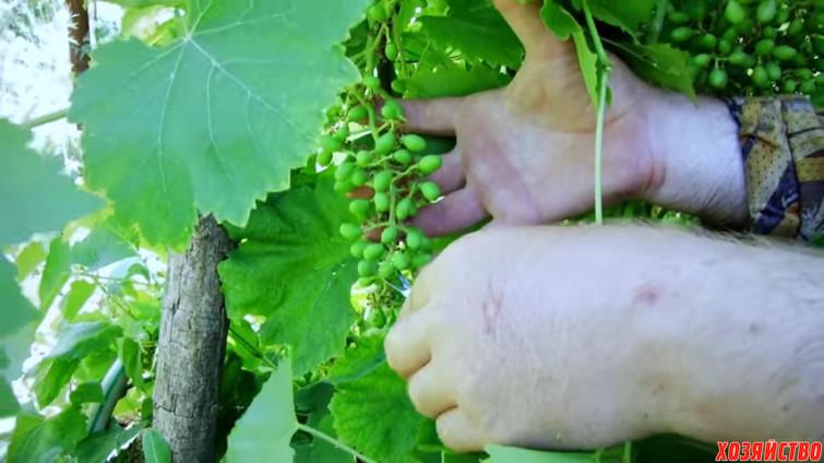 уменьшение грозди винограда.jpg