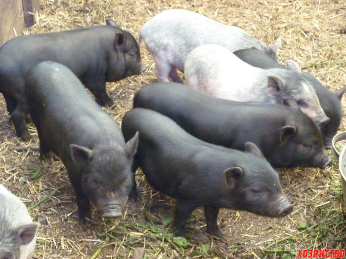 вьетнамские свиньи.jpg