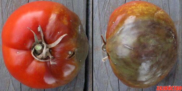 Миссия – спасти помидоры от страшной фитофторы.jpeg