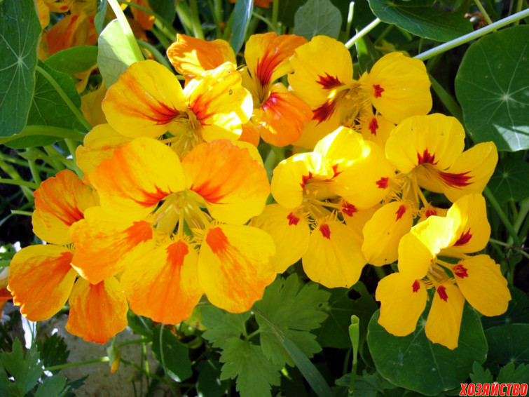 Настурция – садовая лиана.jpg