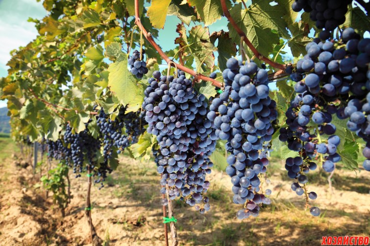 Подкормим виноград для большого урожая2.jpg