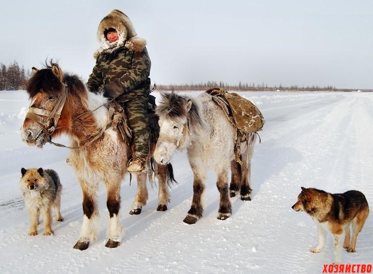 Якутская лошадь.jpg