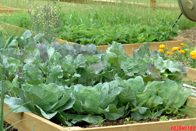 Cabbage-in-Raised-Bed2.jpg