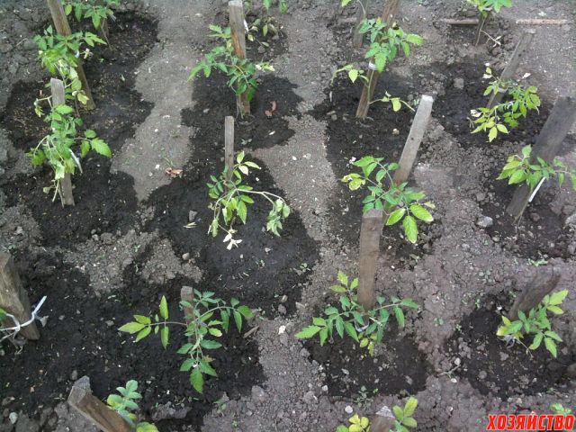 13.00 Зольный раствор накормит помидорки калием (1).jpg