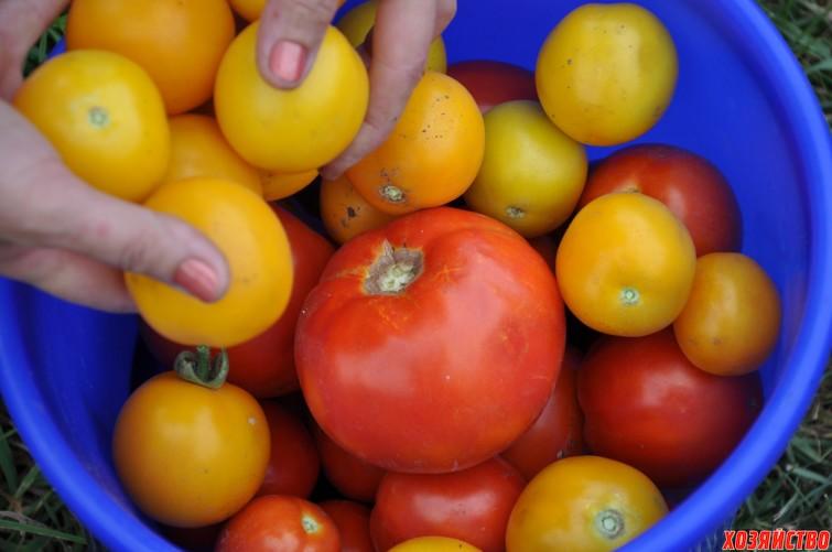 Урожай помидоров _.jpg