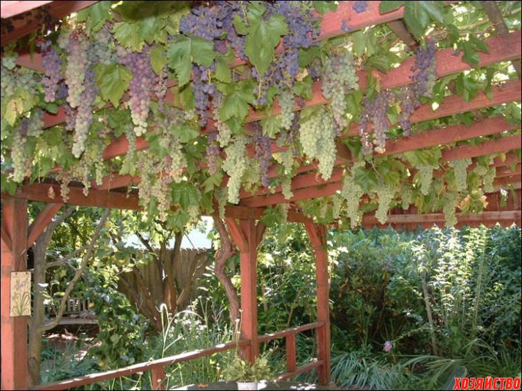 Виноград и молодой сад.jpg