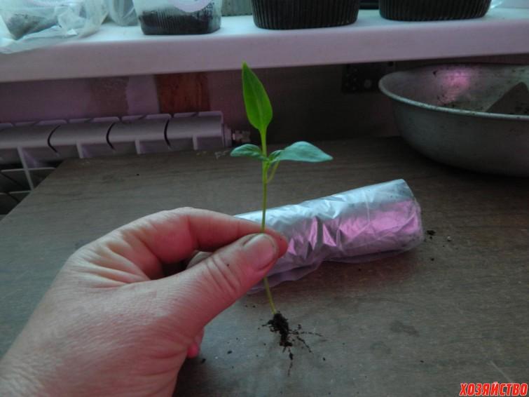 Вырастить рассаду в пелёнке 97