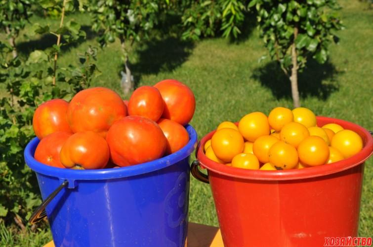 Урожай помидоров в ведрах.jpg