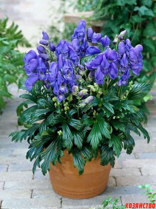 цветок Аконит