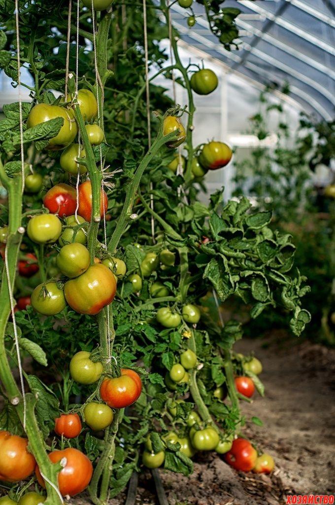 помидоры в теплице.jpg