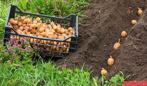 Посадка картофеля.jpg