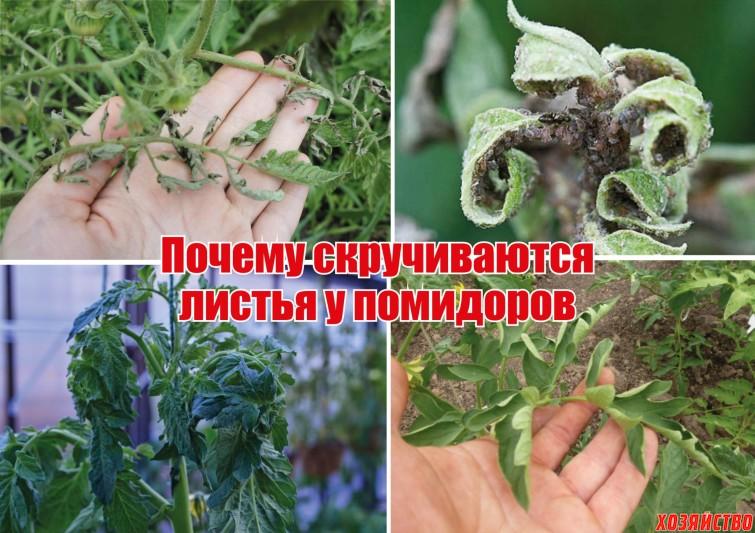 Почему скручиваются листья у помидоров.jpg
