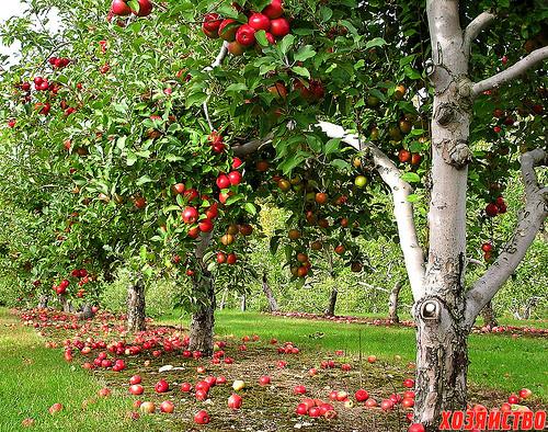 flickr-apple-orchard.jpg