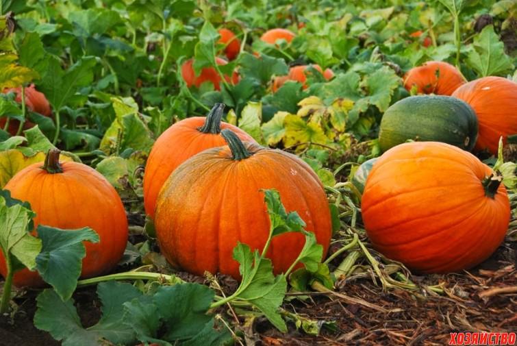 Pumpkin-Patch-.jpg