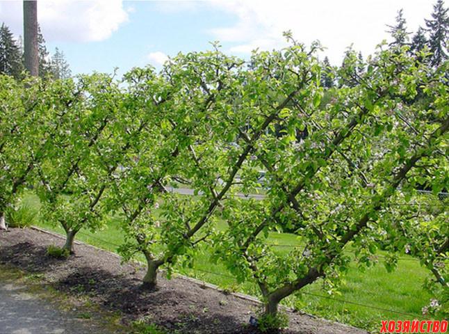 Шпалерная изгородь из плодовых деревьев1.jpg