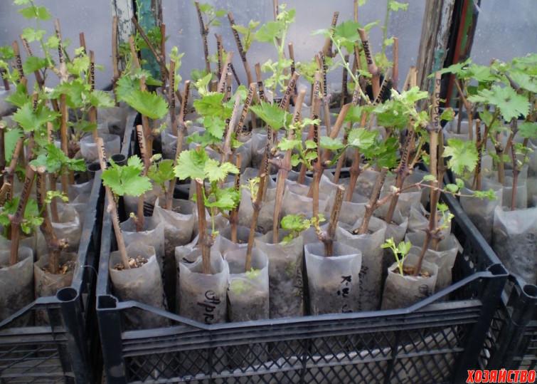 Саженцы винограда.jpg