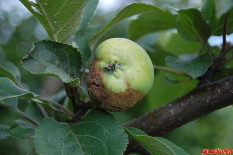 Самые опасные болезни яблонь и способы борьбы с ними. Таблица.jpg