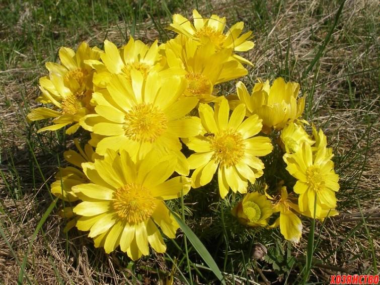 Адонис – редкий цветок в наших огородах.jpg