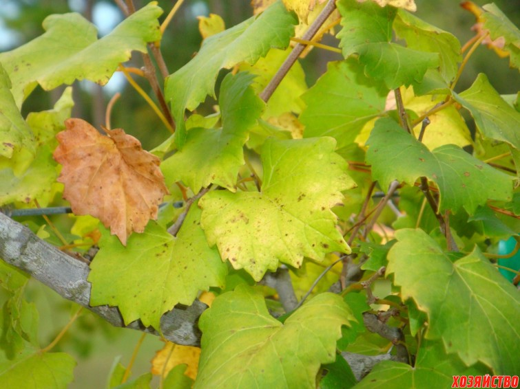 Почему желтеют листья на винограде