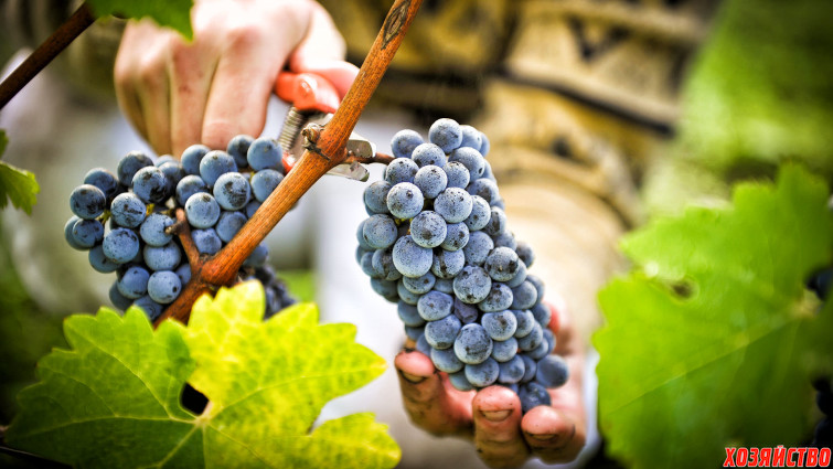 Подкормим виноград для большого урожая.jpg