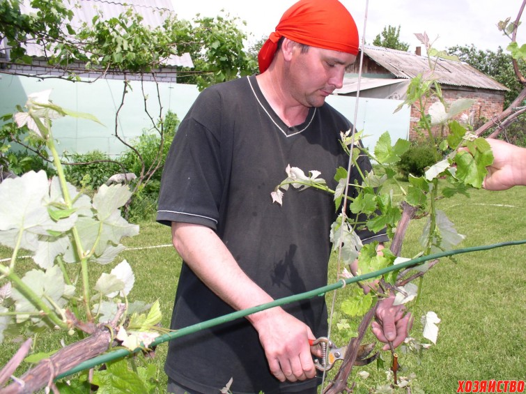 Подрезка и подвязка винограда.JPG