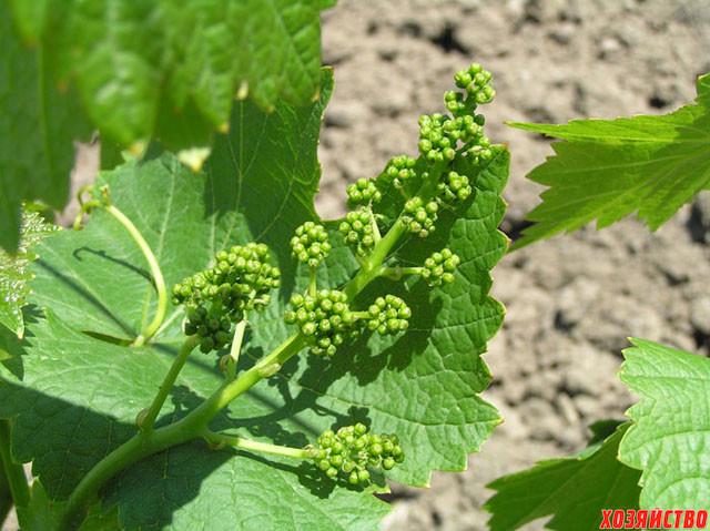 Виноград до цветения.jpg