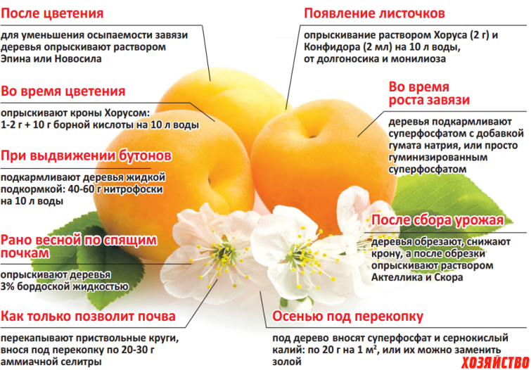 Уход за абрикосами по этапам роста.png