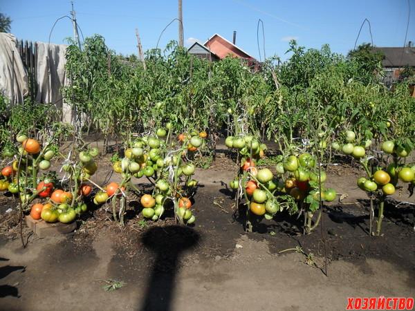 На втором плане видно, что остальные помидоры (рассадные) я уже все собрал, а эти остались последние..JPG
