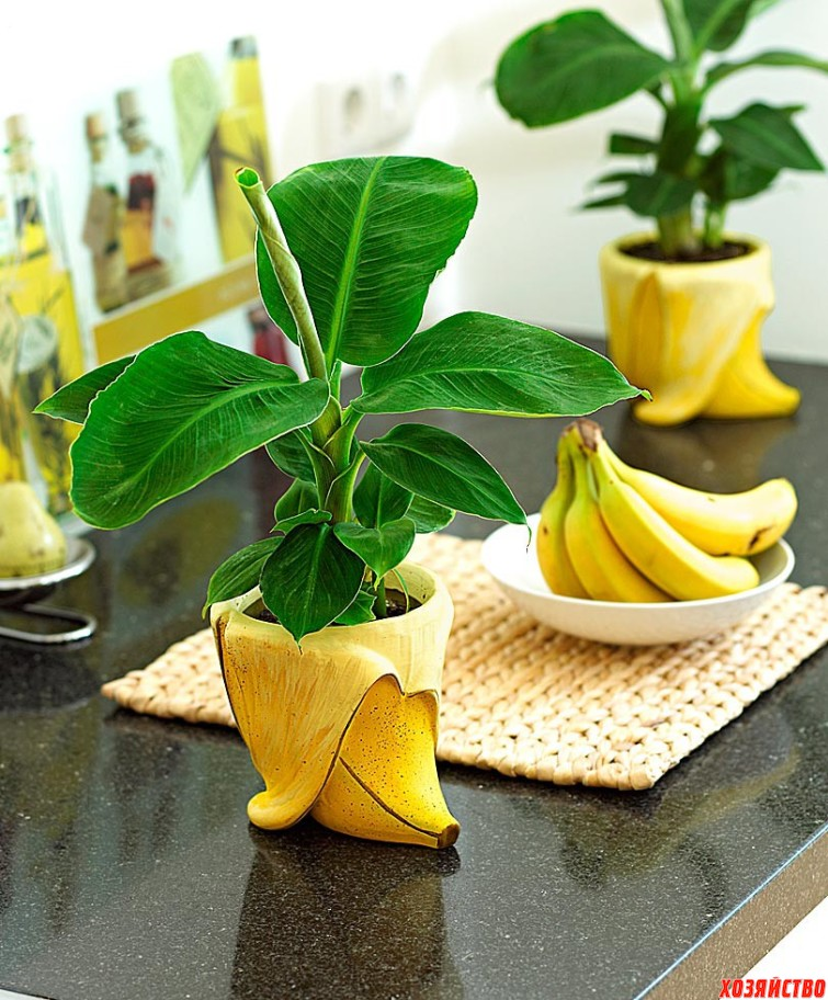 Банан выращивание в домашних условиях 189