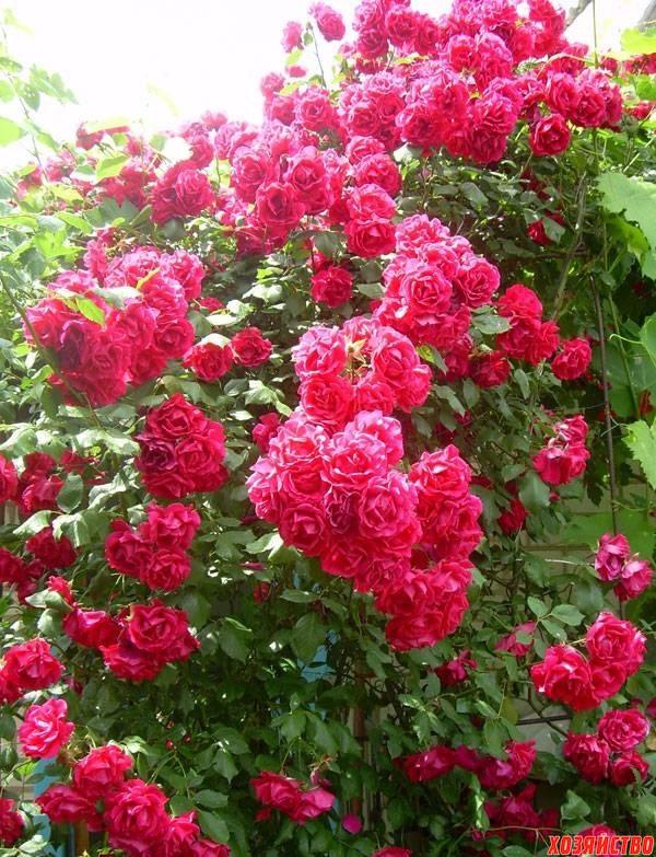 Побег шиповника у розы.jpg