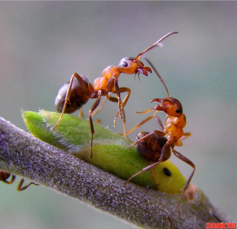 муравьи на смородине.jpg