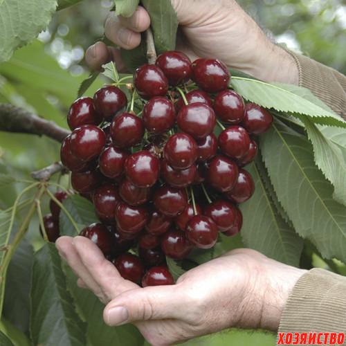 sweet cherry.jpg