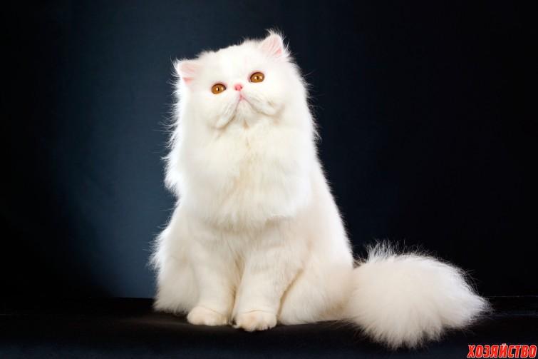 persian_cat.jpg