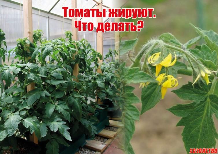 томаты жируют.jpg