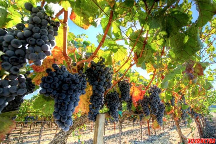 Аромат и вкус винограда – влияние условий произрастания4.jpg