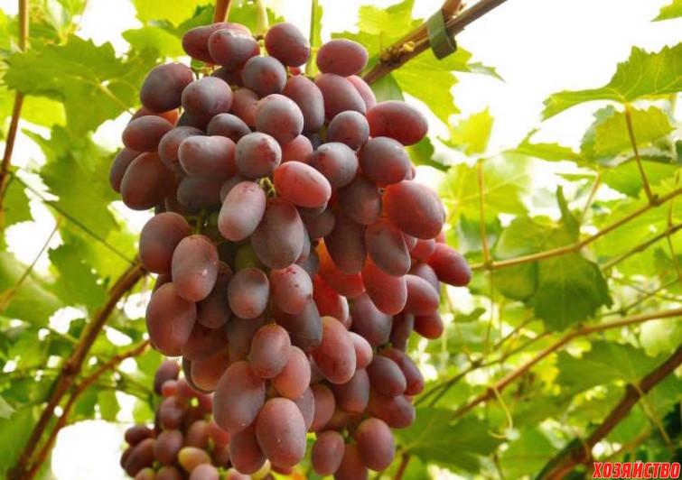 123416151_8_1000x700_sazhentsy-vinograda-.jpg