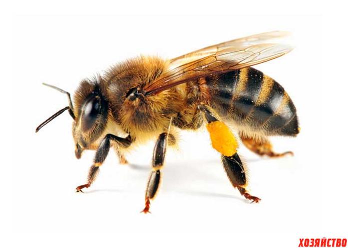 Насекомые, приносящие пользу Пчелы.jpg