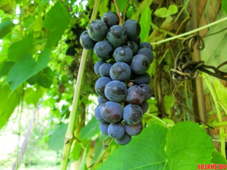 виноград неукрывной_Изабелла.JPG