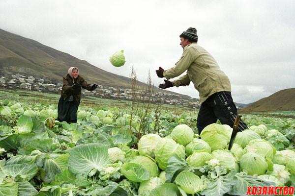урожай капусты.jpg