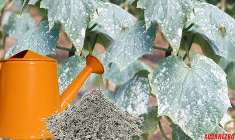 табак и зола против мучнистой росы.jpg