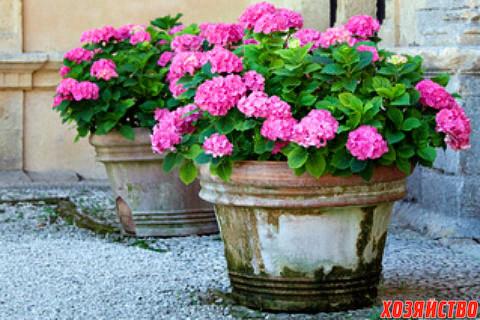 garden_container_materials_dreams_pd_hydrangea_stone_pots_2.jpg