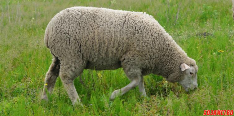 Овцы мясных пород.jpg