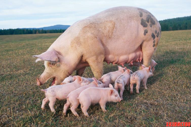 Животные на выращивание и откорм 515