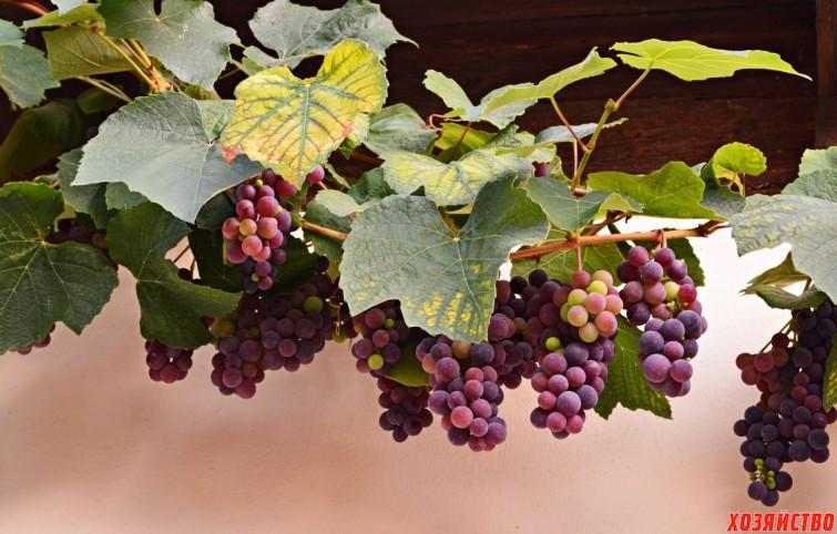 2048x1309_vinograd-loza-grozdi-grozdya.jpg