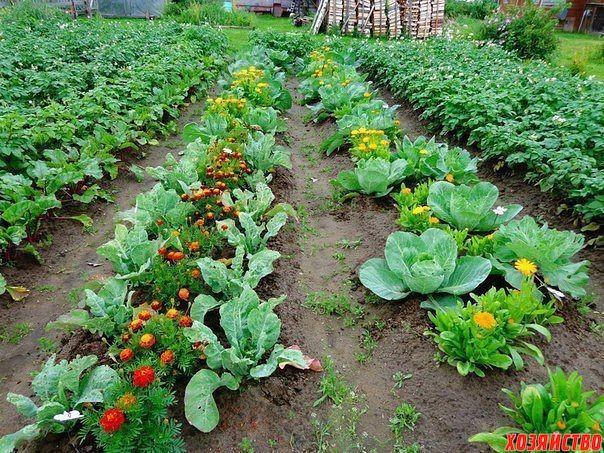 Овощи, которые стоит посадить рядом друг с другом..jpg