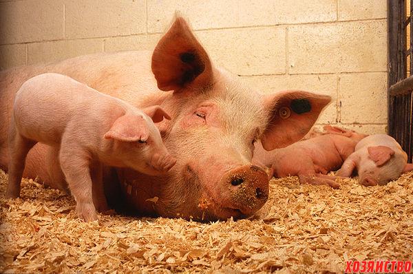 Свиньи пьют свою мочу
