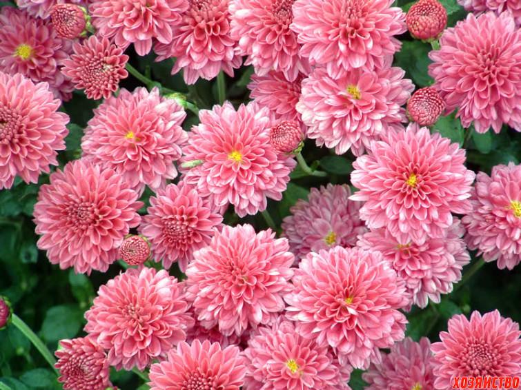 chrysanthemum_1.jpg